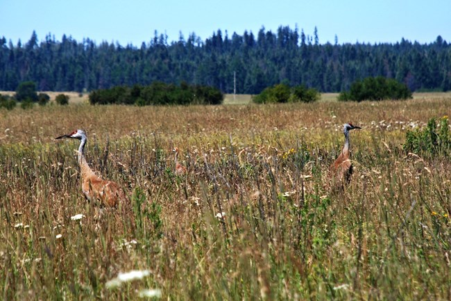 Two sandhill cranes and a baby in tall grasses.