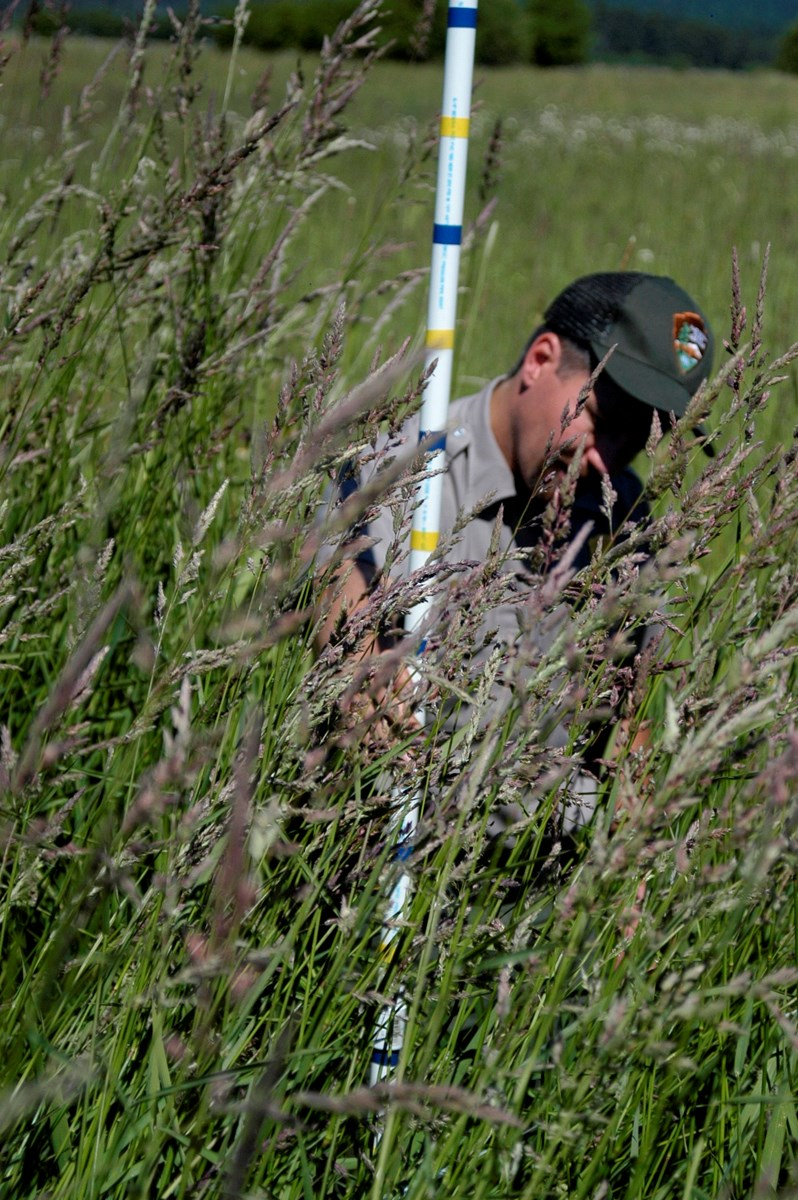 A male ranger measuring tall grasses with a measuring stick.