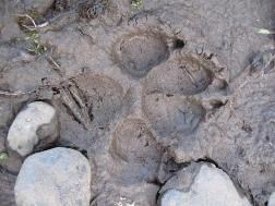 A canine track in the mud.