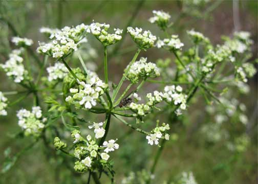 poison hemlock at Spalding site, Idaho