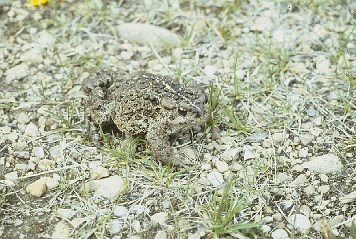 A western toad sitting on small rocks and grasses.