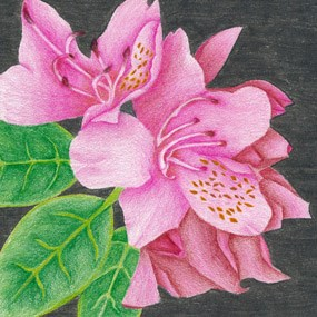 Catawba Rhododendron - Youth Artwork