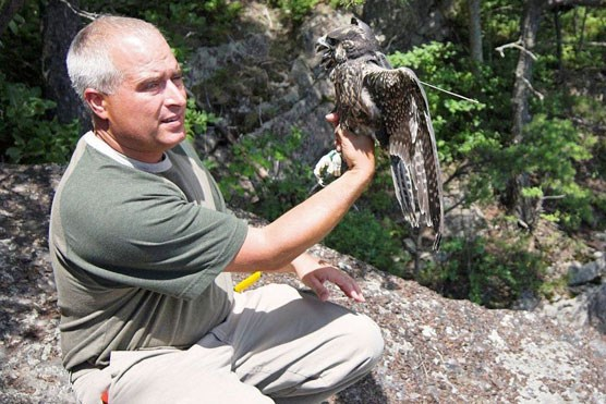 Wildlife specialist getting ready to release falcon