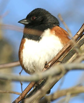 Eastern Towhee perched on tree branch.