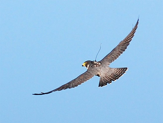 Peregrine falcon #54495 with antenna and backpack visible