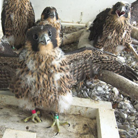 peregrine chicks in hack box