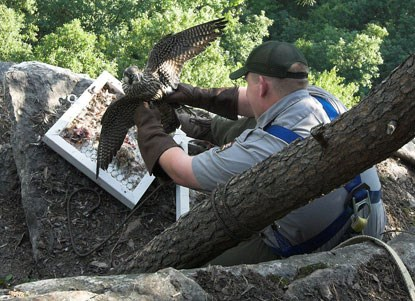 NPS wildlife biologist retrieving captured falcon