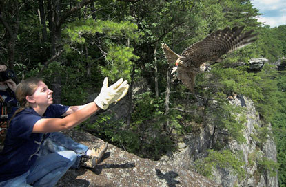Volunteer releasing a falcon from the edge of the cliff
