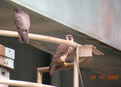 Peregrine Falcons on Highway Bridge