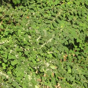 invasive plant crowding out native plants