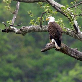bald eagle perched in a sycamore tree