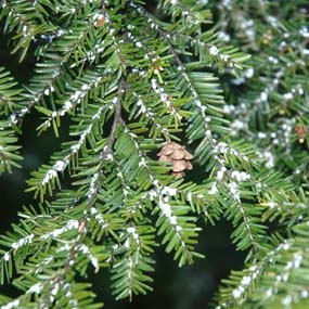 woolly adelgid on hemlock needles
