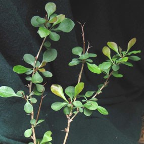 Japanese barberry