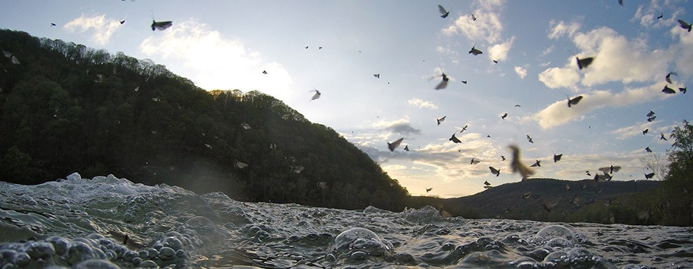mayflies flying above river