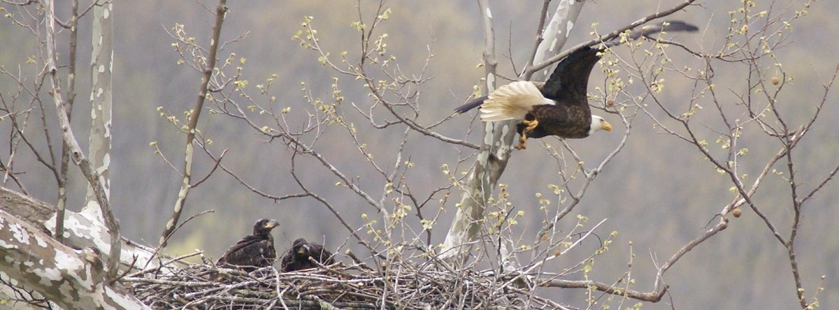 bald eagle soaring over nest with chicks