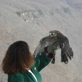 releasing a rehabilitated falcon