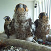 peregrine falcons in hack box