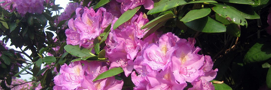 Rhododendrons New River Gorge National River U S National Park