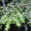 hemlock infested with the woolly adelgid