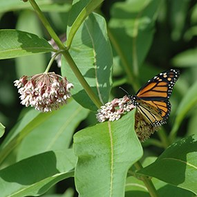 monarch on milkweed plant