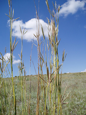 Big Bluestem against a prairie sky