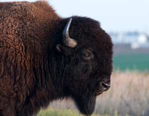 Bison are frequently seen on the Fort Niobrara Wildlife Refuge.