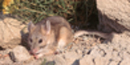 Eastern Bailey's Woodrat