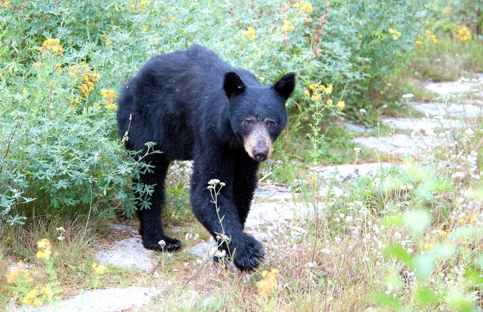 black bear walking and looking forward toward camera
