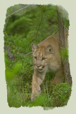 Cougar Illustration