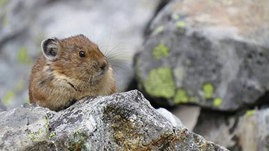 A pika, a small mammal, sits on a rock.