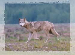 Wolf sightings and distribution
