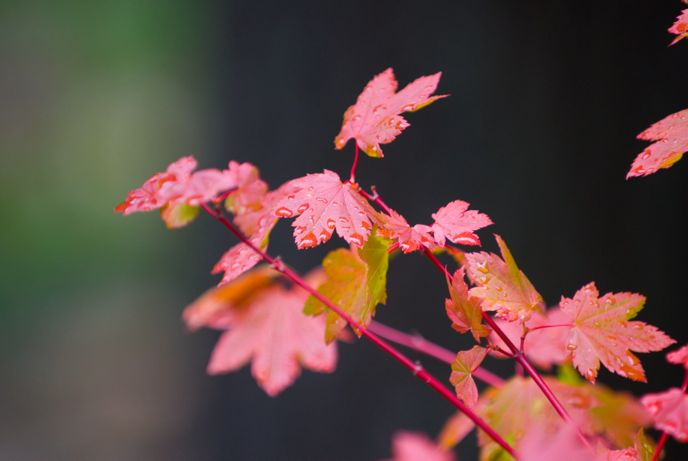 Wet vine maple leaves near the Environmental Learning Center. Image: NPS Photo