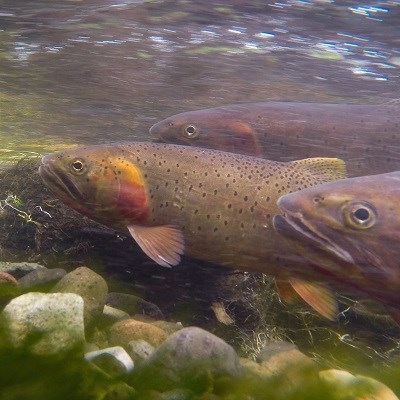 Three trout swimming under water.