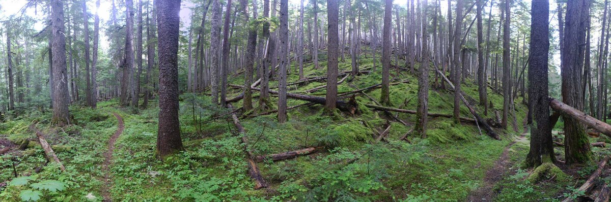 Forest Trail Panorama
