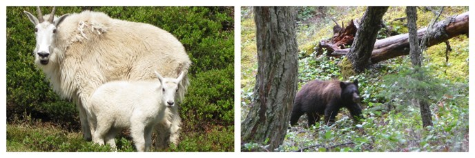 Mountain goats and black bear