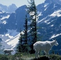 Mountain goat with mountains in the background.