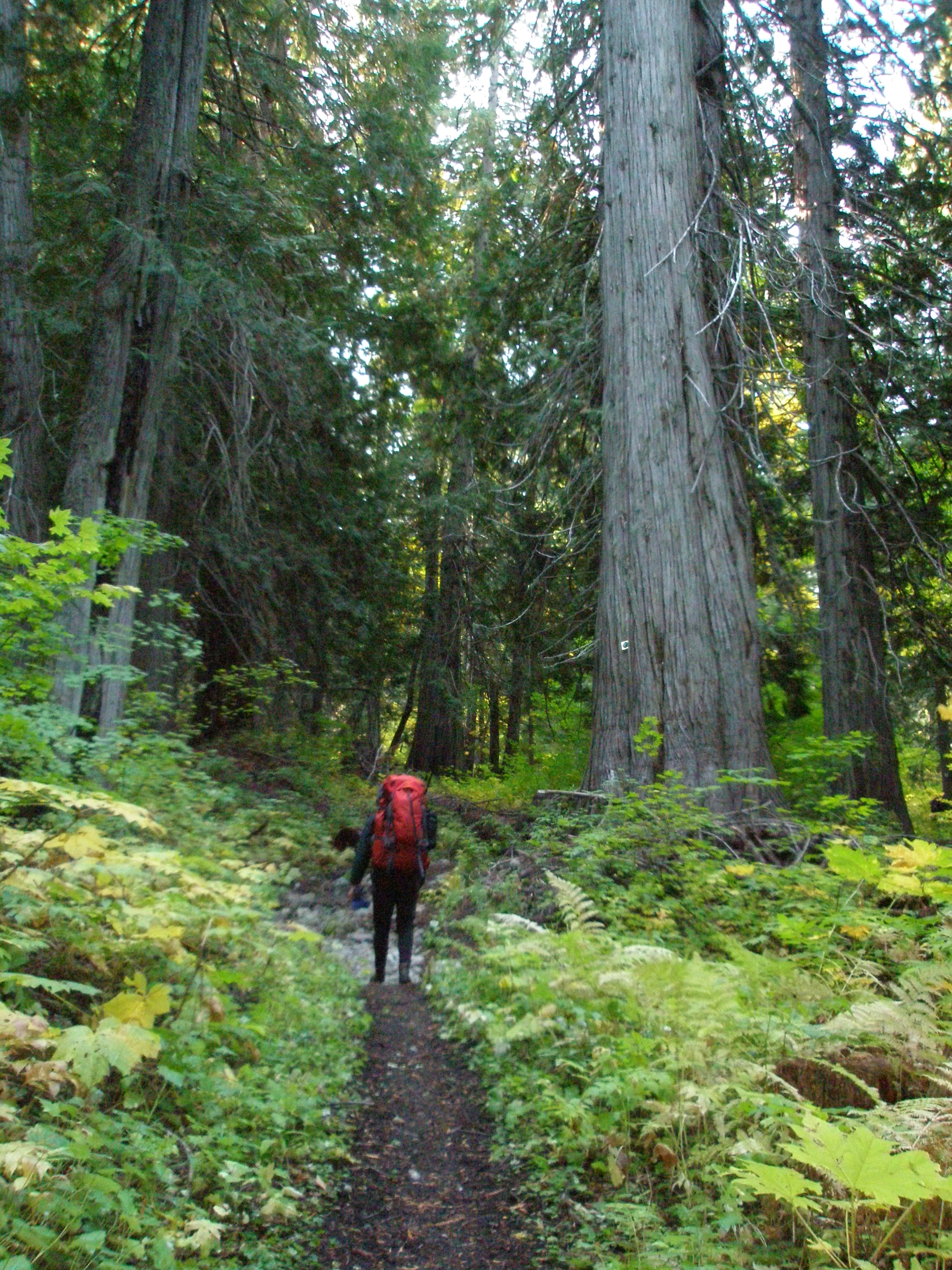 A hiker approaching a western red cedar grove along the Old Wagon (Pacific Crest) Trail.
