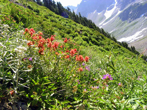 Indian paintbrush and other wildflowers along the trail to Sahale Arm. NPS/Rich Gwozdz
