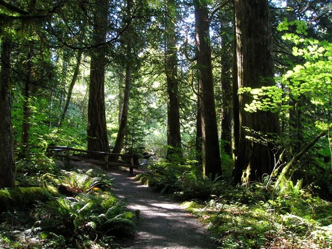 Trail through old growth forest.