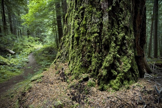 Ancient forests are one of the main attractions of this trail