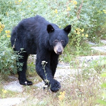A young black bear