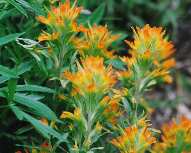 Native yellow-orange paintbrush