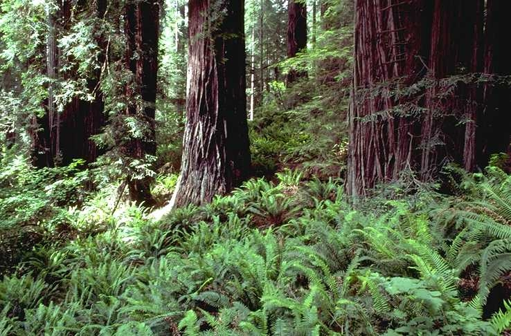 Redwood forest with ferns.