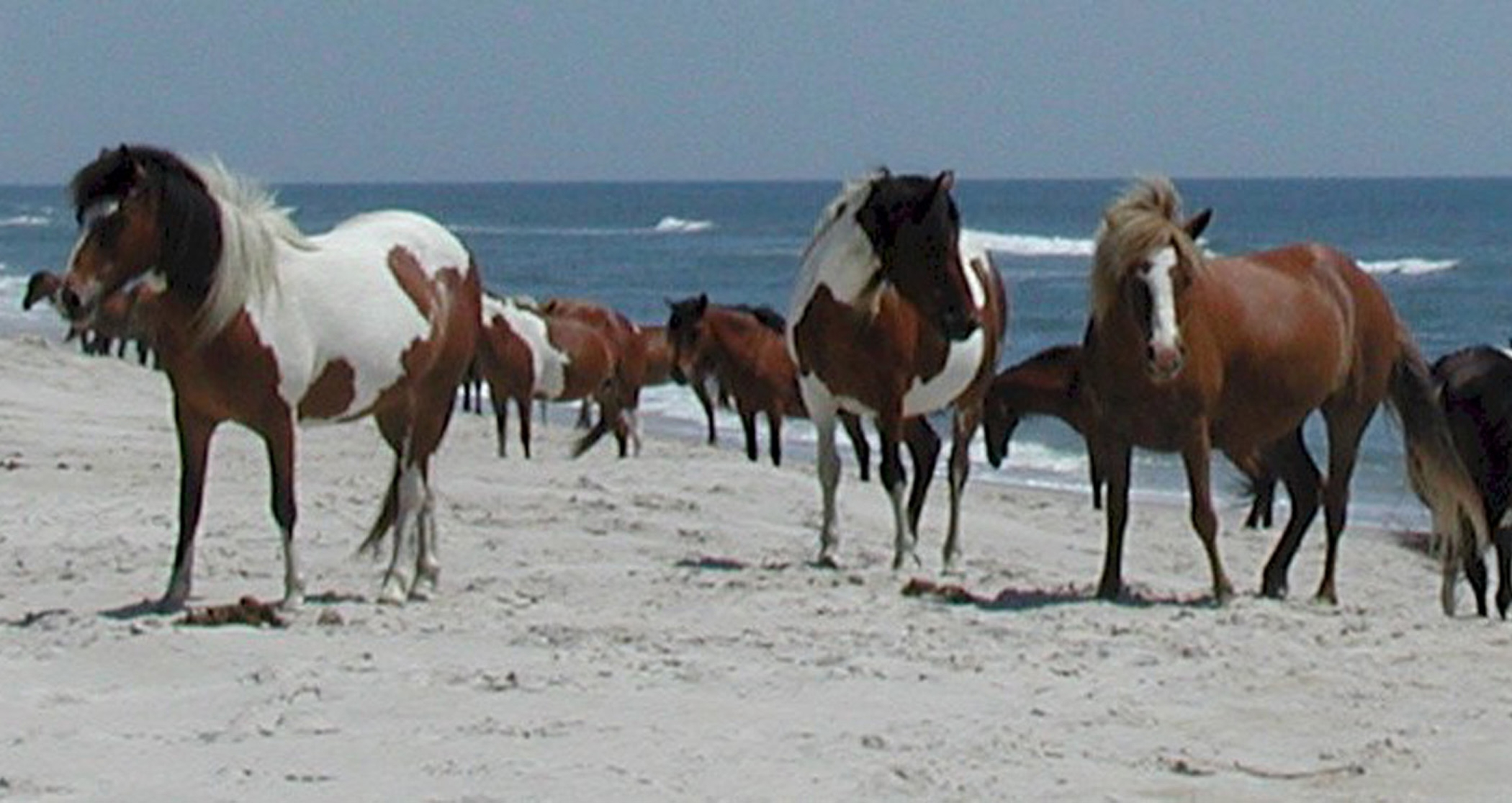 Horses On The Beach Photo Gallery U S National Park Service