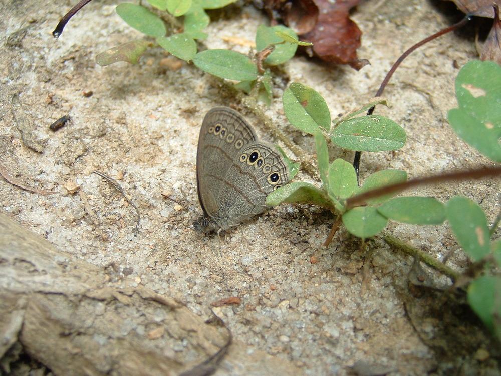 Carolina Satyr (Hermeuptychia sosybius)