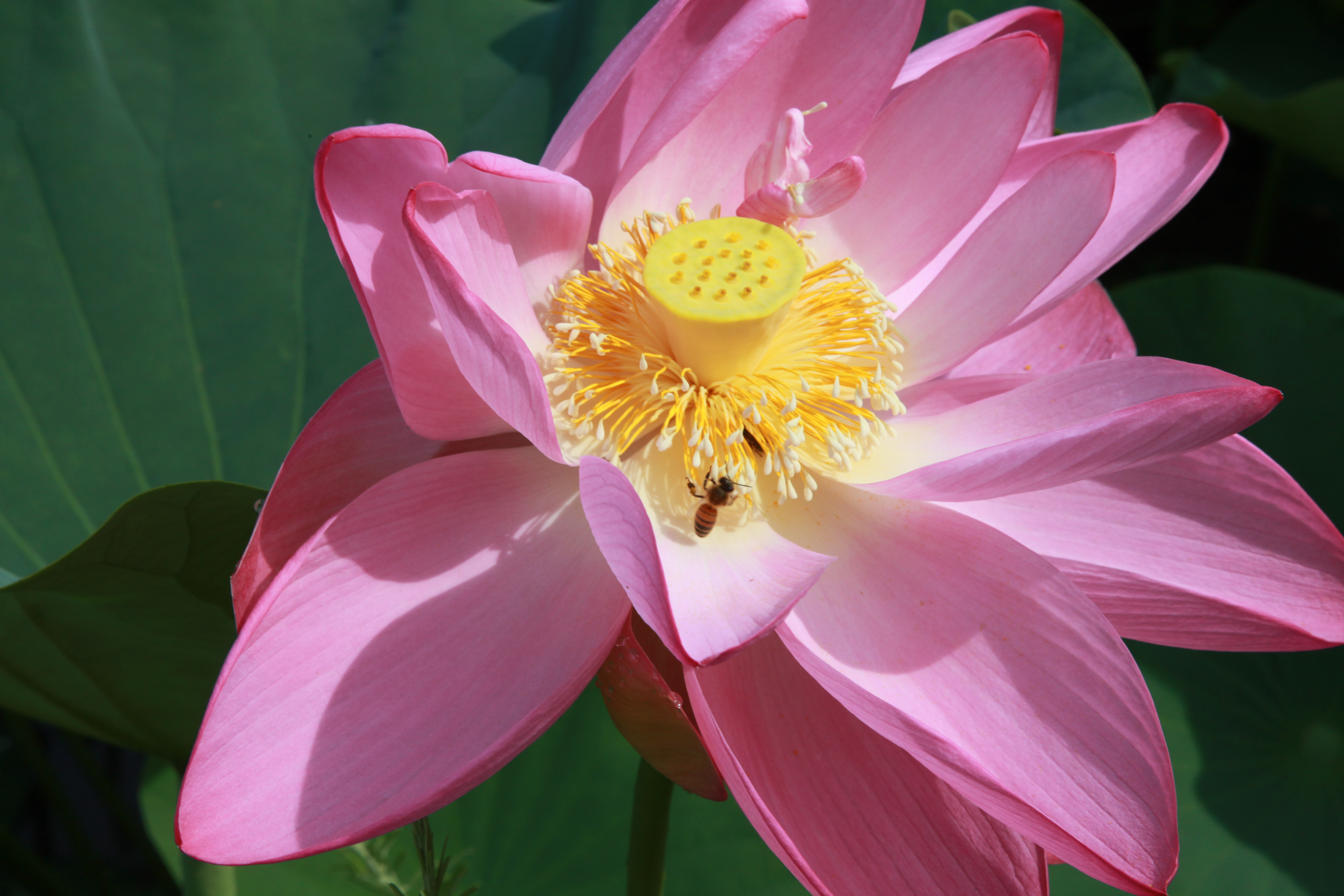 Photo gallery us national park service lotus and the pollinator izmirmasajfo Images