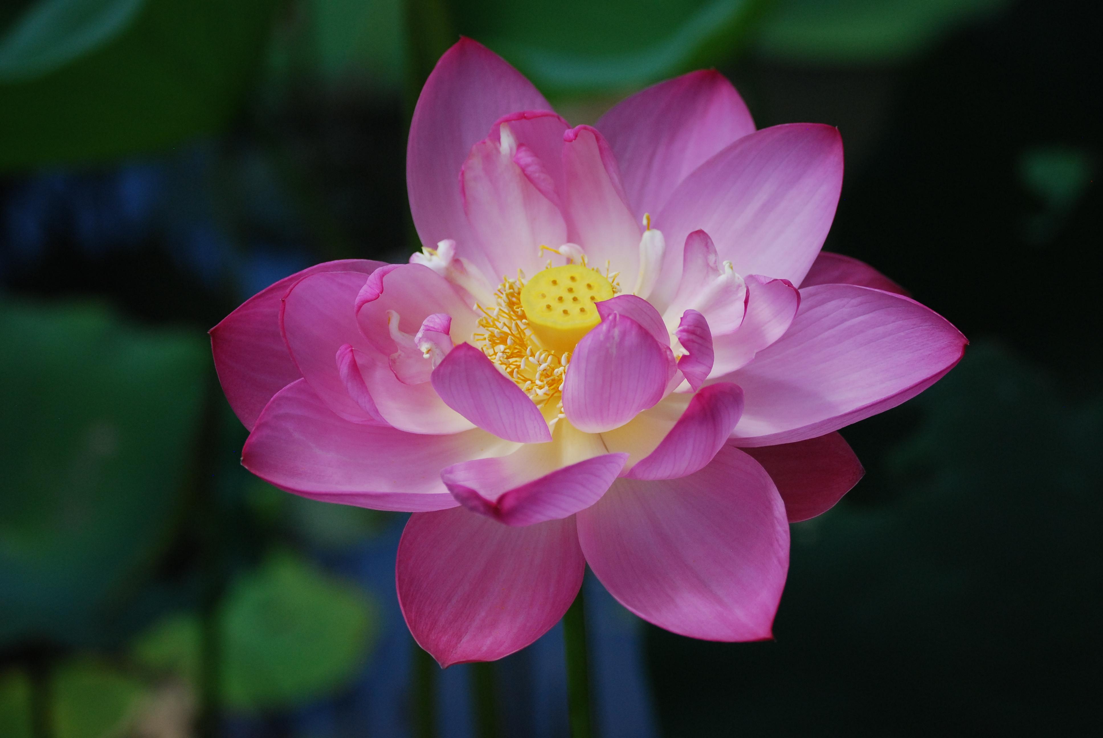 Photo gallery us national park service lotus flower izmirmasajfo Images