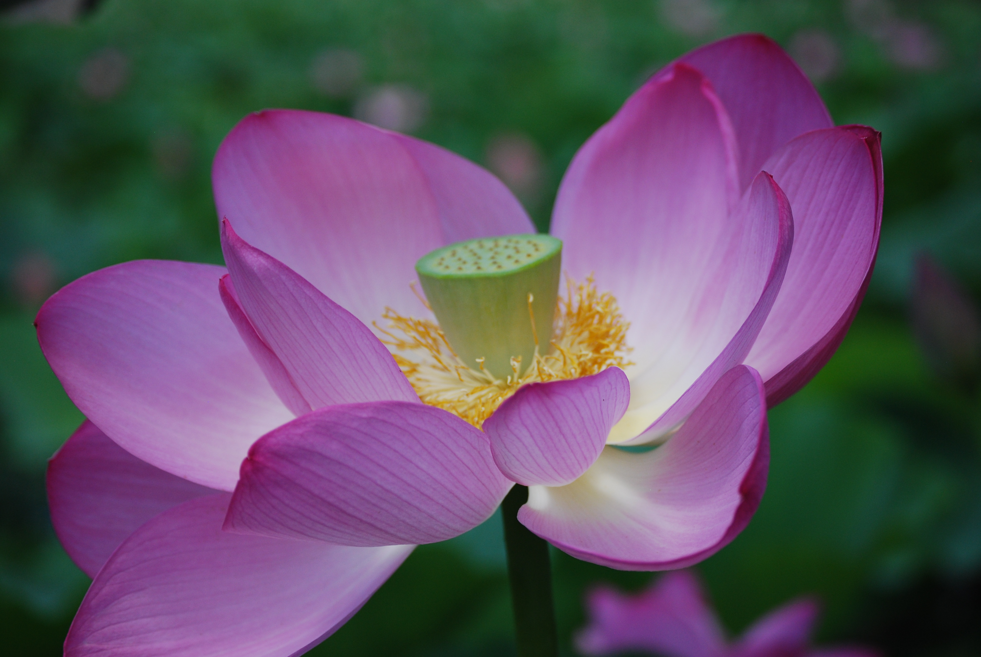 Photo gallery us national park service lotus flower mightylinksfo