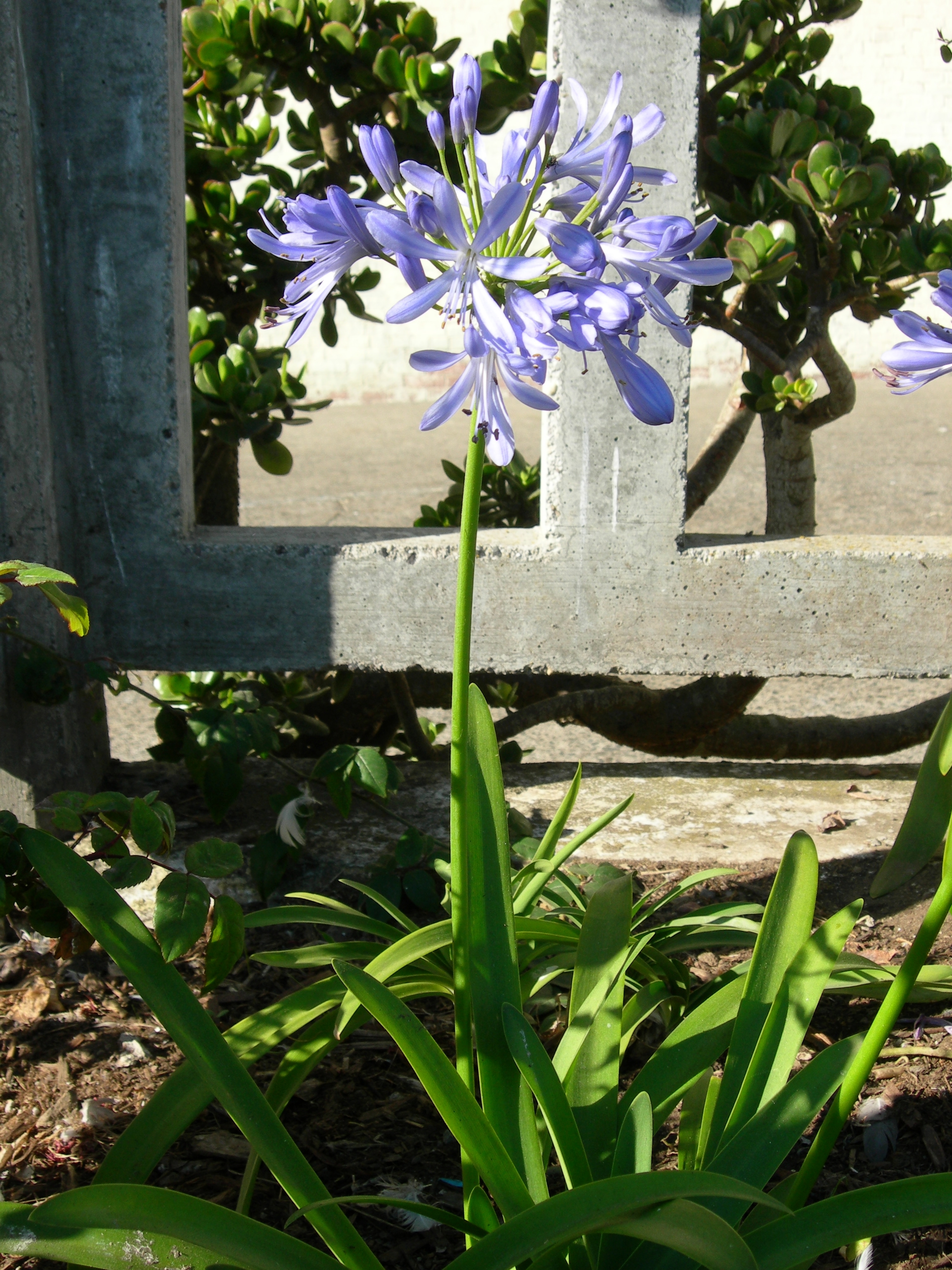Photo gallery us national park service lily of the nile agapanthus p izmirmasajfo Images