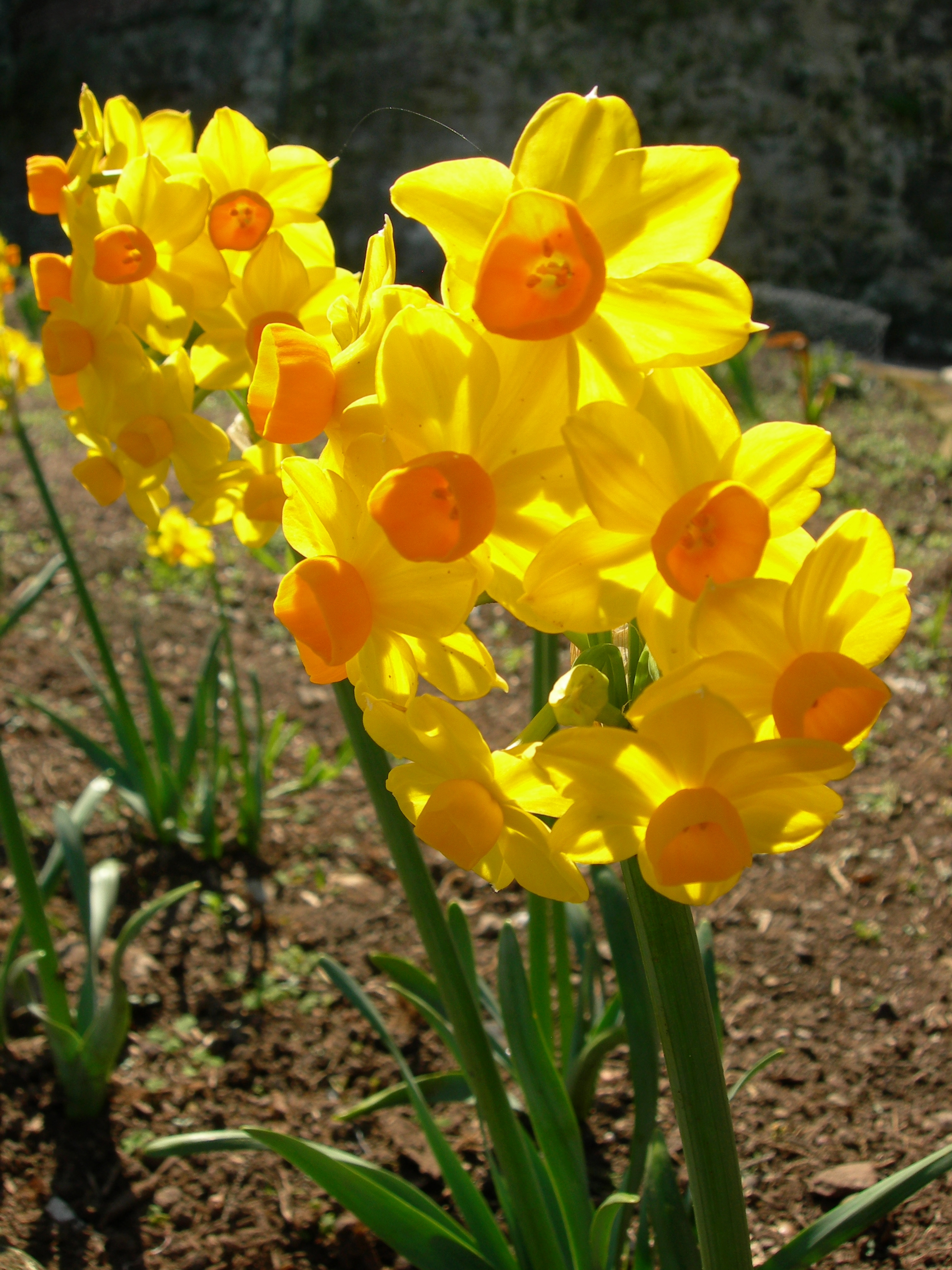 Photo gallery us national park service daffodil narcissus grand sol mightylinksfo Image collections